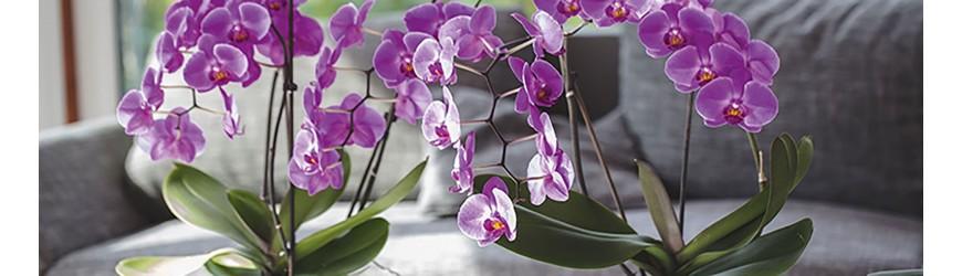 Comprar Plantas Munich ✅  Con orquídeas es una verdadera alternativa