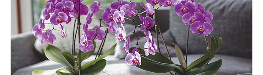 Livraison Plantes Munich ✅  Avec les orchidées est une véritable alternative